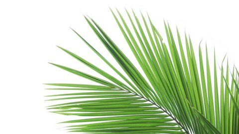 Tropical coconut palm fronts sway in a gentle breeze. isolated against the white background of an overcast sky.