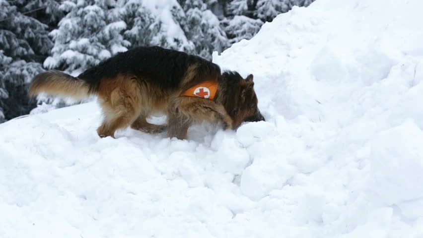 Rescue dog from Mountain rescue service at Red Cross organization participates in a training for finding people buried in an avalanche. Both men and animals are trained before going on duty.