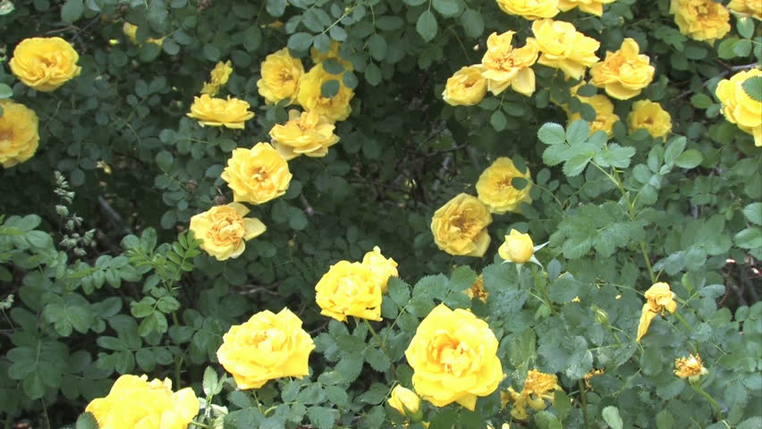 Wild Yellow Roses Planted By Stock Footage Video 100 Royalty Free