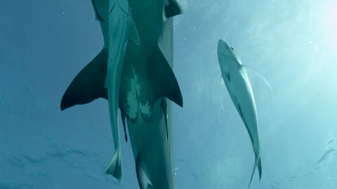 Female Great Hammerhead Shark swims over camera