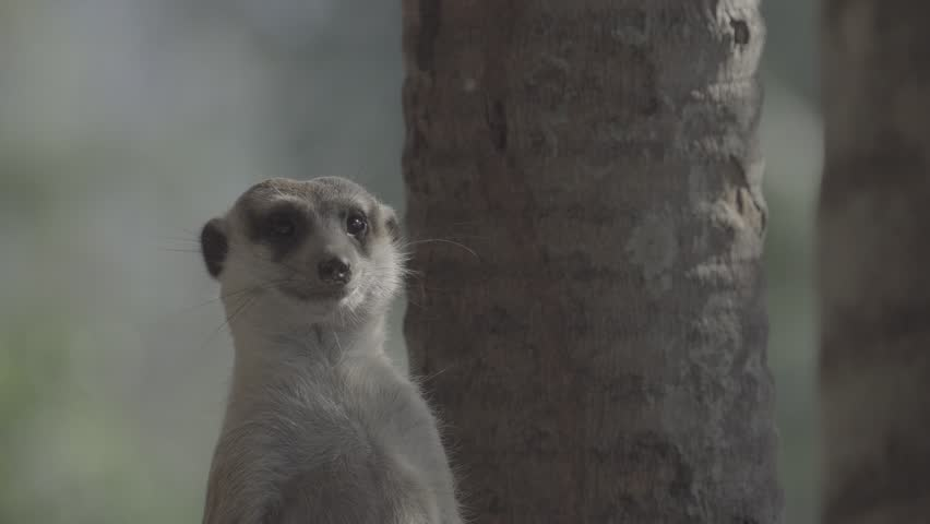 Little brown meerkat alert watch out for danger : 4K Ungraded flat profile Log file out of camera | Shutterstock HD Video #23545504