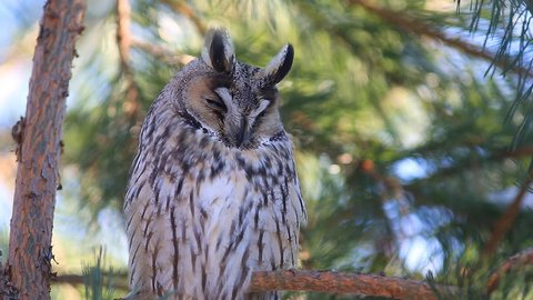 Long-eared owl (Asio otus, previously Strix otus) dozing on a pine branch and yawns