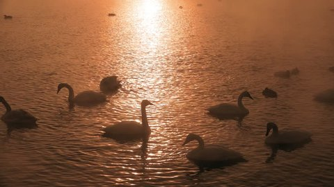 Swans Cygnus cygnus on Altai lake Svetloe in the evaporation mist  at sunset time in winter