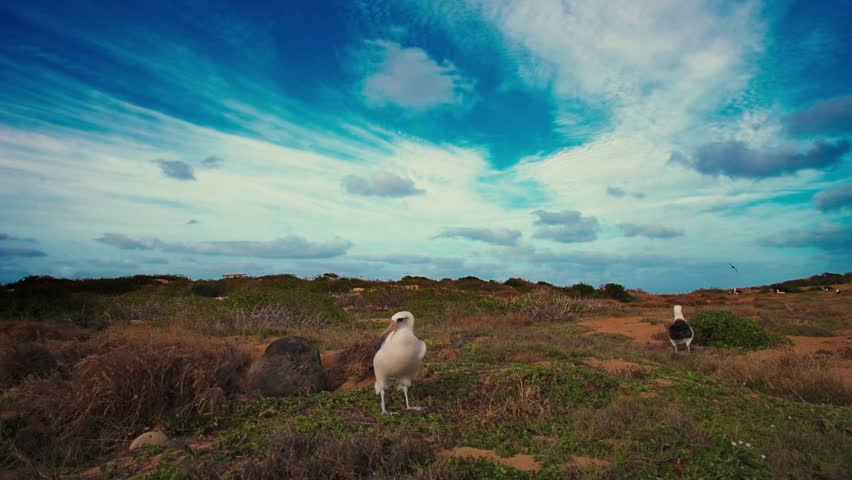 Albatross in natural habitat. A bird walking away of frame #23611978