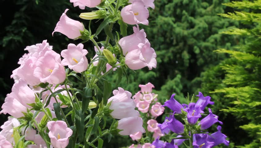 Bell shaped flower stock footage video 2368247 shutterstock mightylinksfo Choice Image