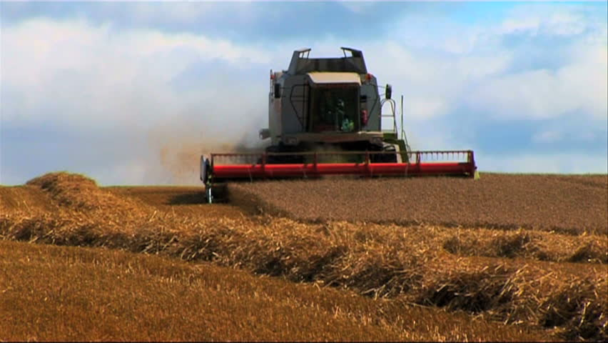 Ripened wheat being gathered by combine harvester