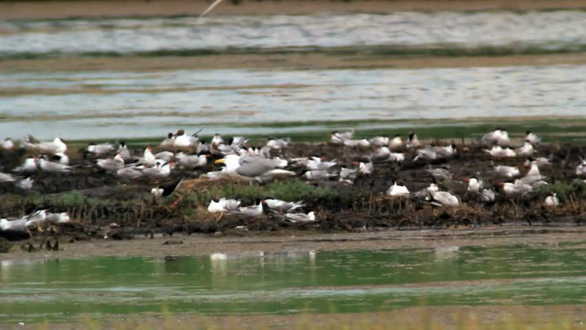 Yellow legged gull, Mediterranean gulls, Common terns in nesting colony