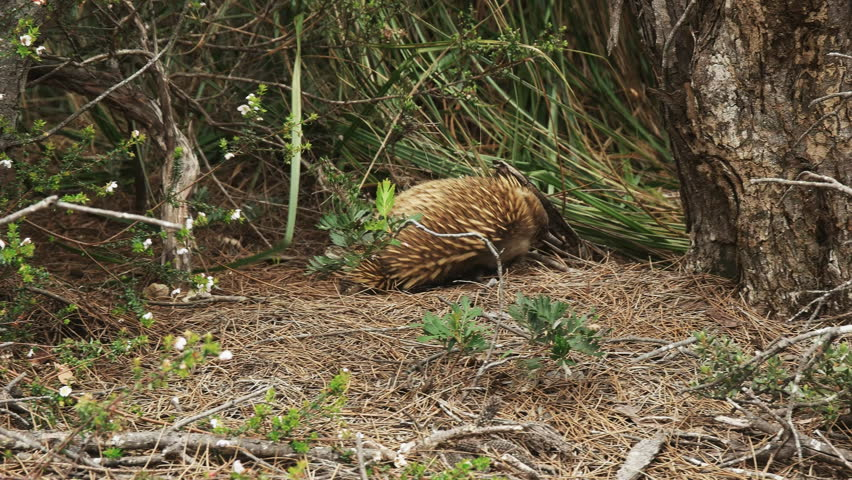 foraging echidna leaves the shot to the right at cape pillar on the three capes track in tasmania