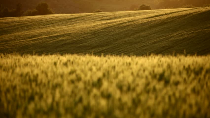 Field of wheat on hill