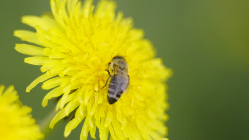 Bee feeding from flower 4K. Macro shot of bee on dandelion flower in focus. Shallow focus with blurred background yellow flowers and grass.