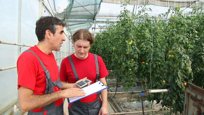 Farmers control the quality of tomatoes in a greenhouse