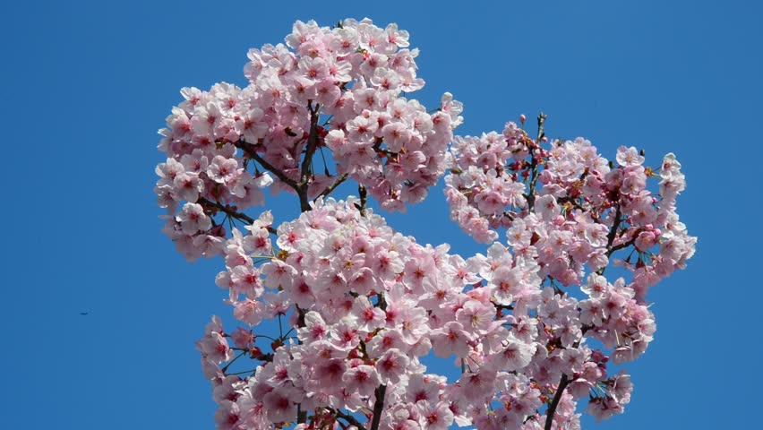 Sakurais The Japanese Term For Ornamental Cherry Blossom Trees
