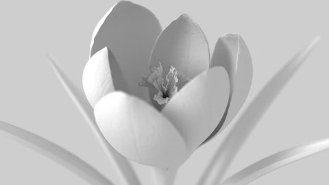White Crocus Flower Blooming On White Background. 3D Animation.