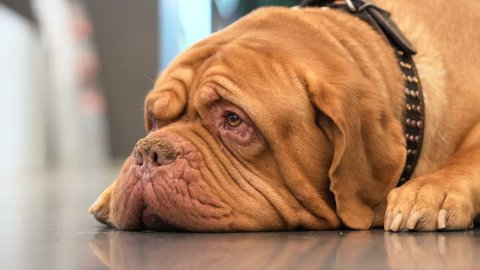Bull mastiff lying on floor and looking at camera closeup. Concept of communication and friendship, harmony and protection. Warmth of closeness. Dog show close up. Natural lighting indoors. Background