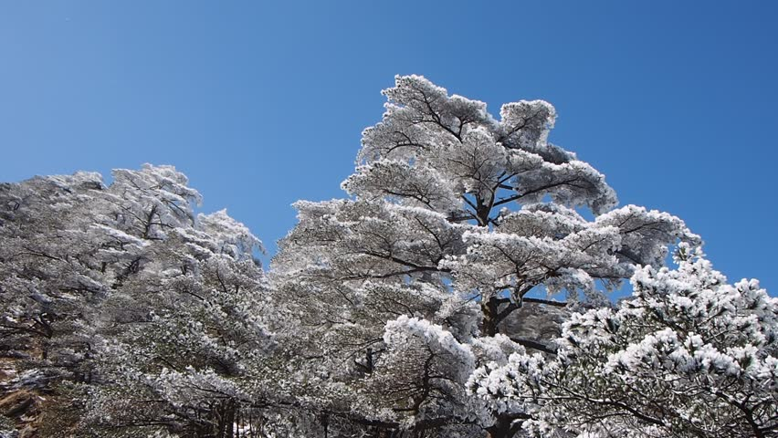 Pine tree covered with snow sway in wind, Huangshan national park,  Anhui Province, China.