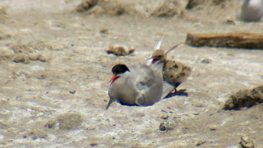 common terns nesting in the colony