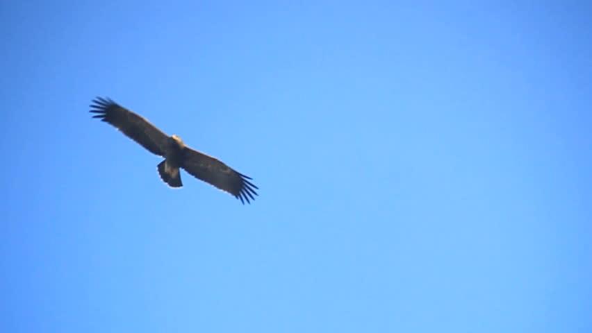 autumn migration of lesser spotted eagles (Aquila pomarina) #23939494
