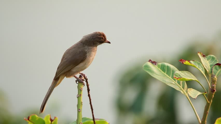 Bulbul on branch in nature | Shutterstock HD Video #23957719