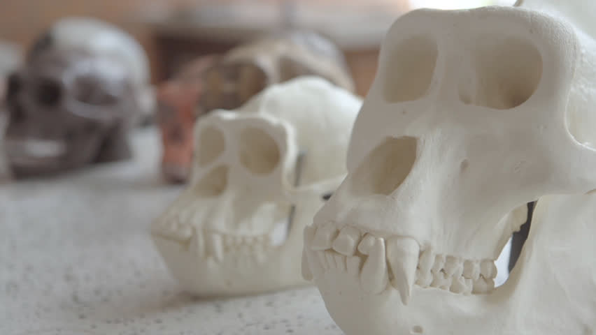 primate skeleton squellette #24064714
