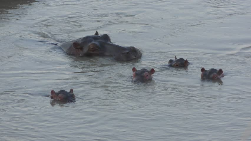 Hippo babies dive, come back up and shake their ears