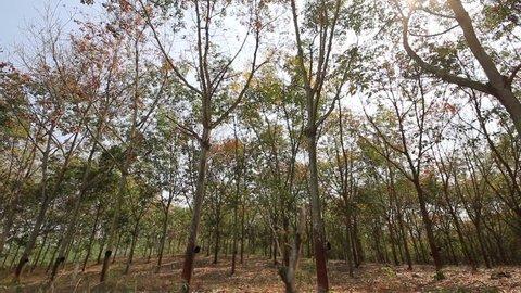 Movement through the Rubber plantation