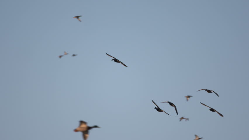 Ducks In Flight | Shutterstock HD Video #24142954
