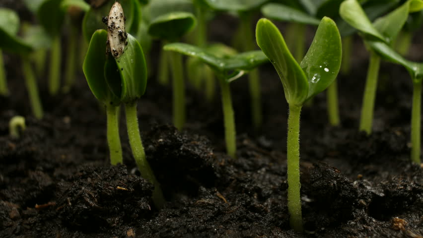 Germinating Cucumber Seeds Agriculture Spring Timelapse