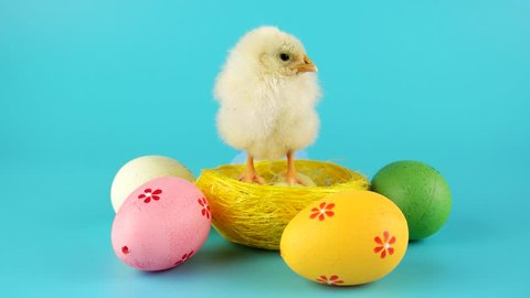 Easter chicken in the nest near colorful Easter eggs, clucking and looking around, on blue chroma key