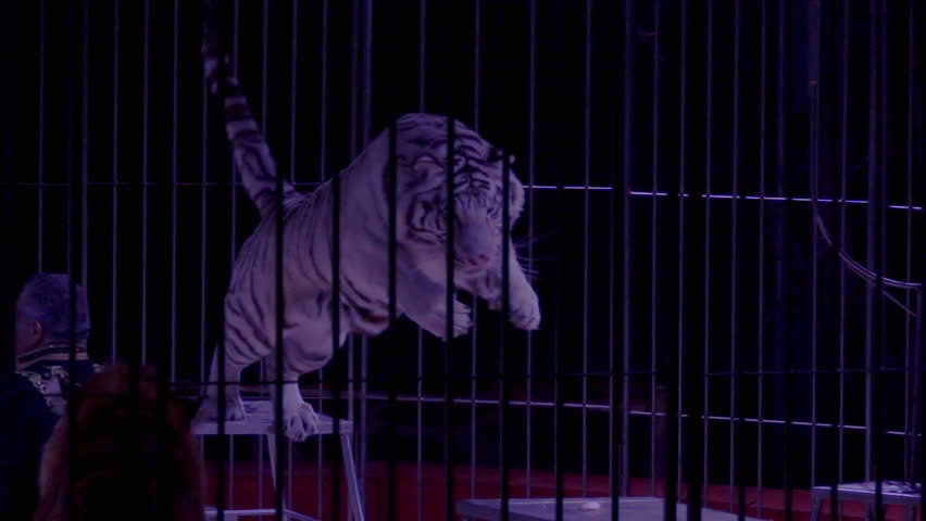 Circus, White Tiger Jumping in Slow Motion | Shutterstock HD Video #24196804