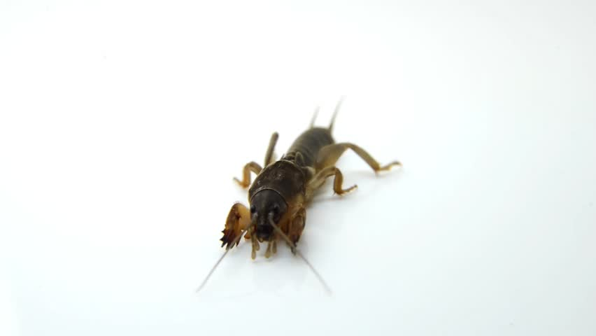 Header of mole cricket