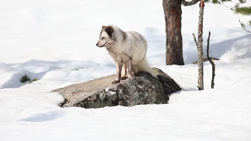 arctic fox in mating season