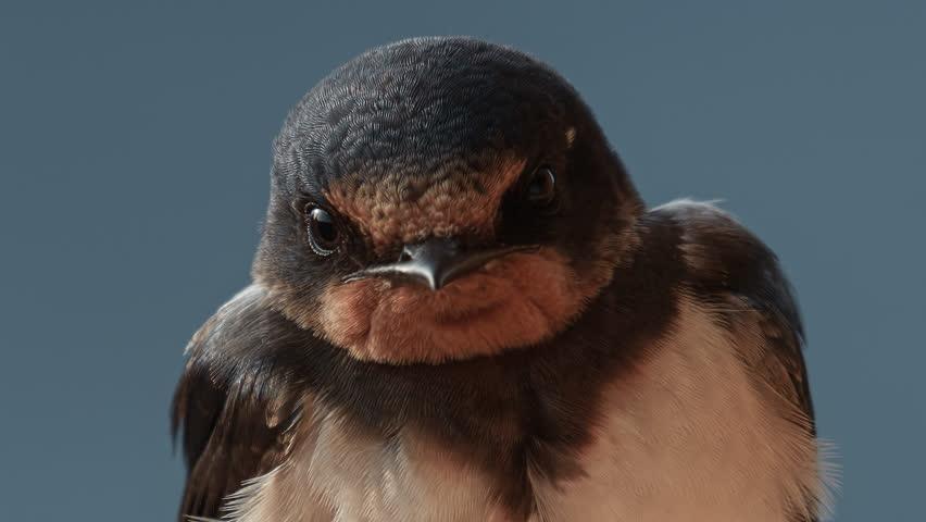 European song bird species: Barn Swallow (Hirundo rustica). A portrait of adult.