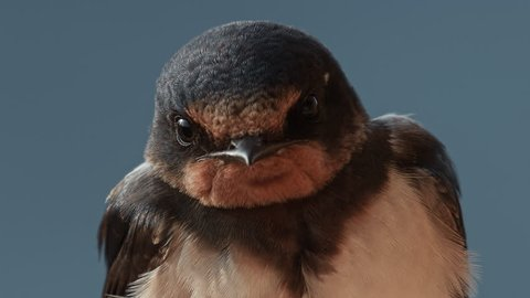 European song bird species: Barn Swallow (Hirundo rustica). A portrait of adult.