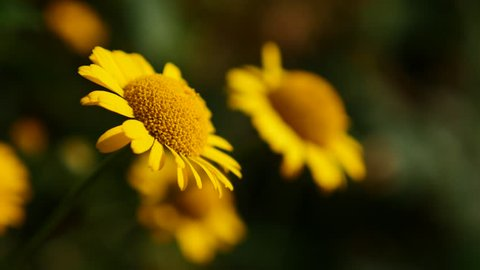 Anthemis Cota Tinctoria Kelwayii yellow flower in the field  4K 2160p 30fps UltraHD footage - Beautiful marguerite golden color plant swings on wind 3840X2160 UHD video