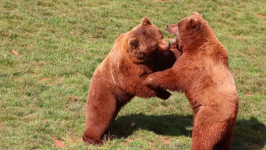 Bears fighting in Natural Park #24447944