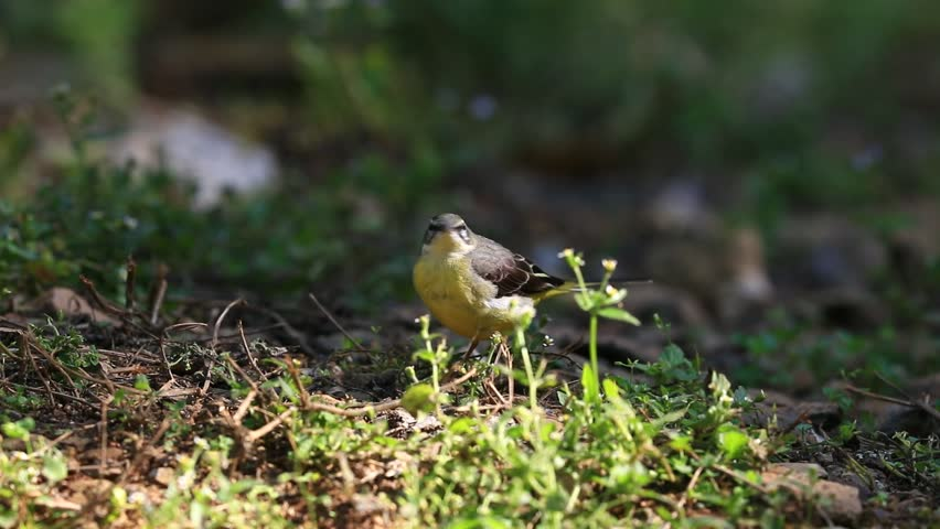 Beautiful of The Grey Wagtail Bird, standing and dancing on the log showing its side profile in nature of Thailand, Winter Visitor    Shutterstock HD Video #24522173
