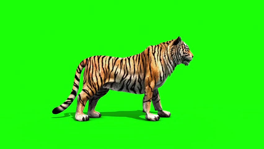 Tiger Roar Animals Side Green Stock Footage Video (100% Royalty-free)  24537614 | Shutterstock