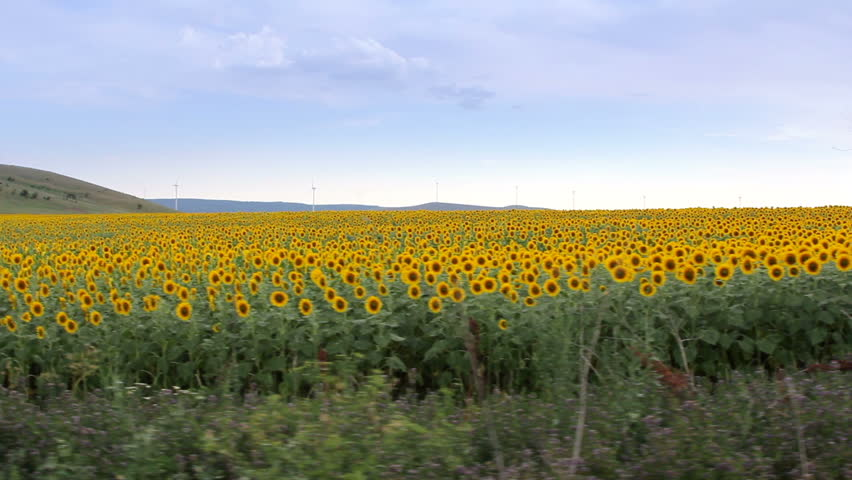 Sunflower field. Steady footage shot from the car