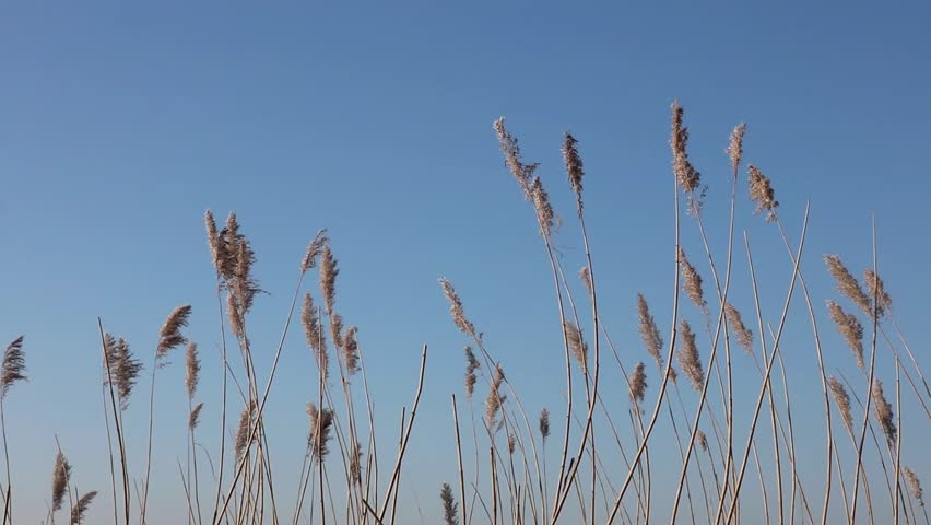 Swinging Reed Grass in the wind at the sea with blue sky