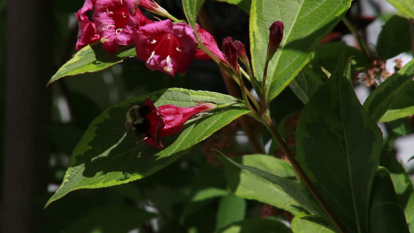 Bumble Bee pollinating red weigela flower