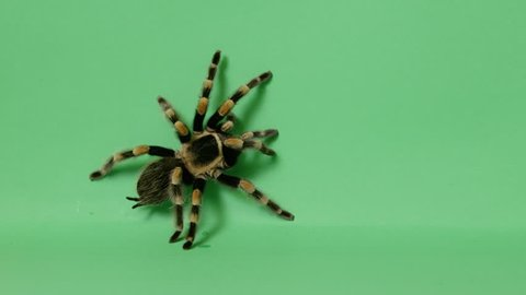 black and yellow tarantula spider crawling on green screen 3