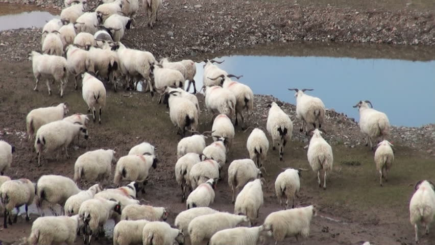Sheep are being herded towards different grounds on the Tibetan plateau
