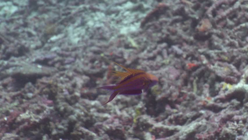 Male adult Filamented flasher (Paracheilinus filamentosus) underwater in Solomon Islands