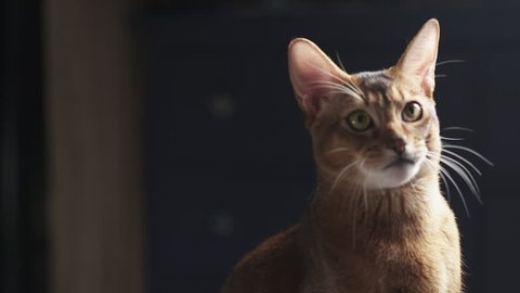 Slow motion of sad young abyssinian cat sitting in front of light, 180fps prores footage