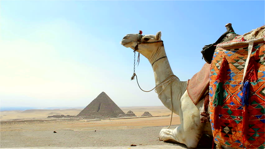 Camel setting down in front of Great Pyramids-Giza Egypt