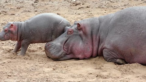 A WILD Mother and Baby Hippopotamus Sleep on the Bank of the Mara River in the Masai Mara, Kenya, Africa. Adorable interaction between cute baby hippo and his mom.