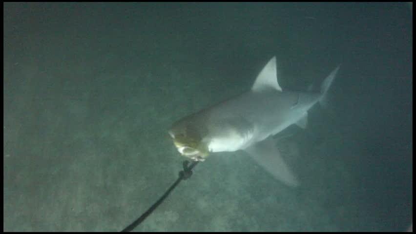 Killer Bull Shark Feeding