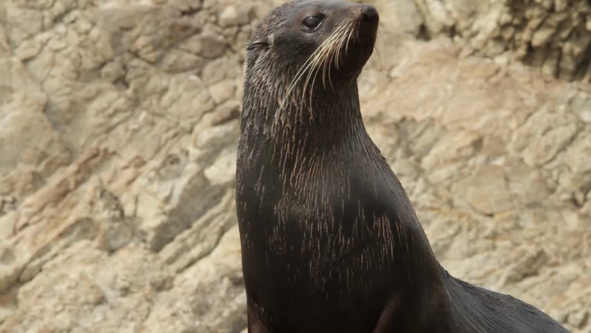Brown, female sea lion looking towards camera, kaikoura, new zealand