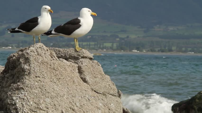 two herring sea gulls on rock in front of ocean and landscape, kaikoura, new zealand