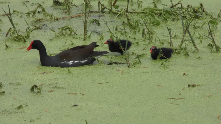 Common Gallinule feeds its chick in Florida swamp #24813404